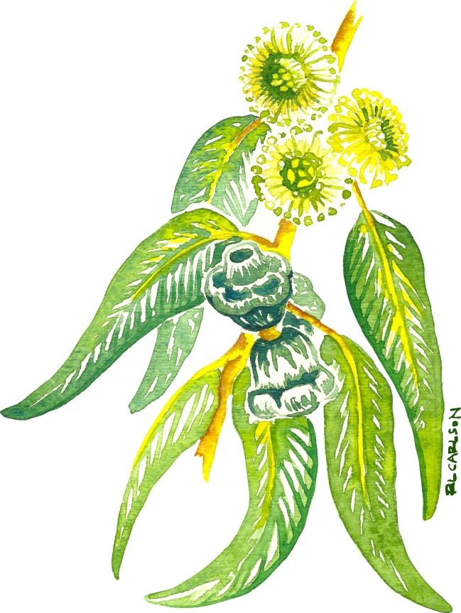 BlueGumEucalyptus_LeavesFlowersFruits2_sm