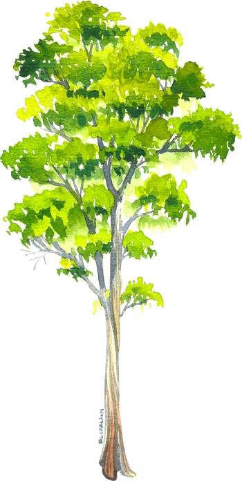 BlueGumEucalyptus_Tree2_sm