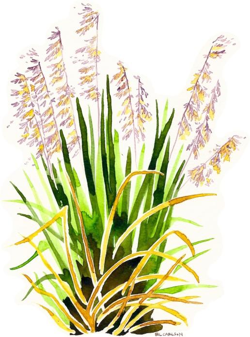 PerennialVeldtgrass2_sm