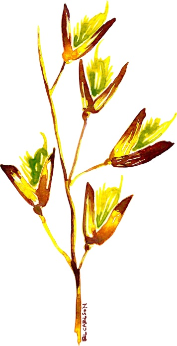 PerennialVeldtgrass_Spikelet2_sm