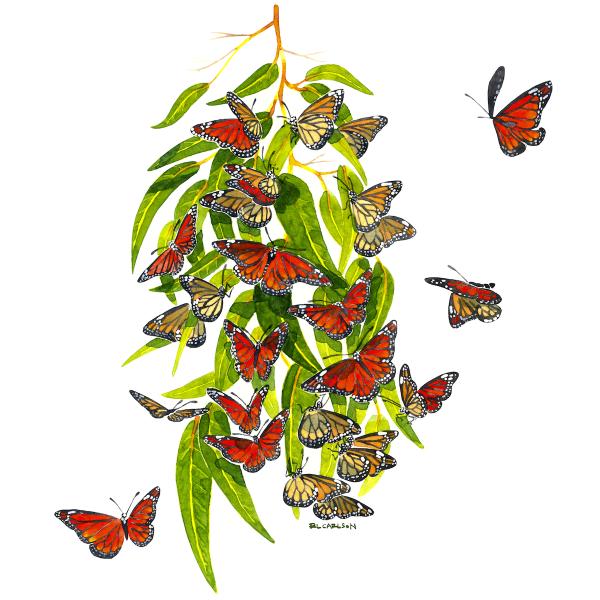 MonarchEucalyptusFinal_sq
