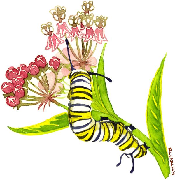 MonarchCaterpillarAndMilkweed_opaque_sm