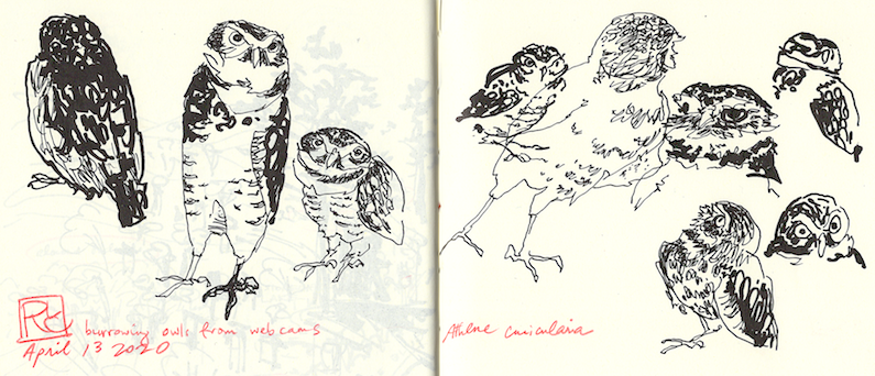 rlc burrowing owls